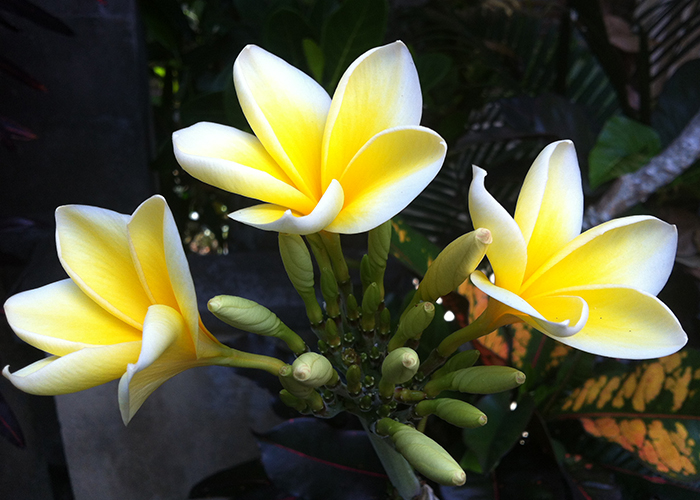Best. Massage. Ever. Frangipani can be seen growing everywhere in Bali.