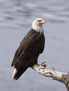 Eagle-Spotting For Beginners by Jane Baker | Spokane County Library District