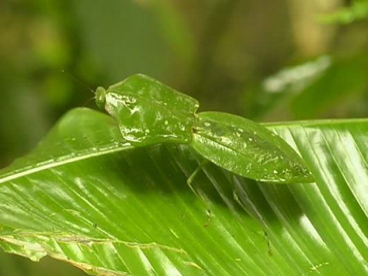 leaf-mantis-picture